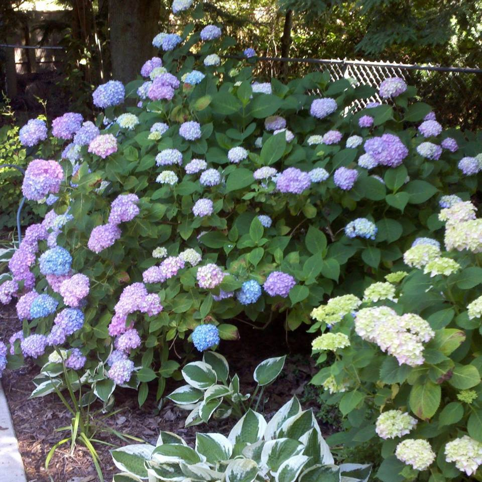 "Mil Hurley's program will be ""Hydrangea, Old & New."