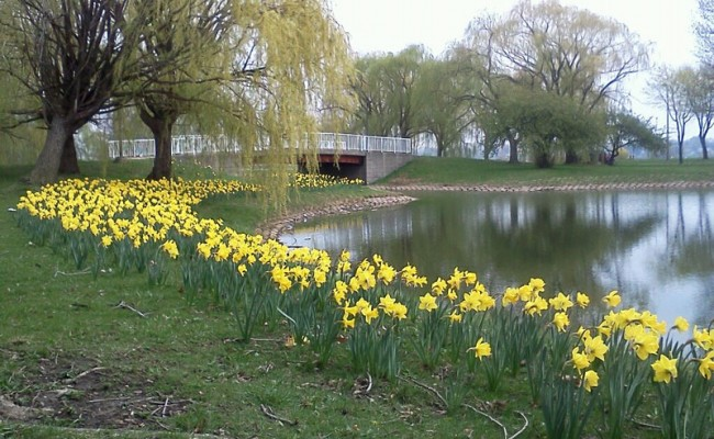 65,000 daffodil have been planted on Belle Isle by the WNFGA-Michigan Division. Photo: DetroitHub