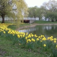 100,000 daffodil bulbs have been planted on Belle Isle by the WNFGA-Michigan Division of which we a part.